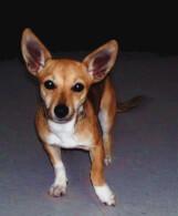 Red Chiweenie Dog