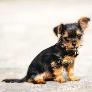 Black & Tan Chorkie Puppy