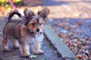 Blue & Tan Chorkie Puppy