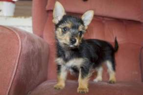 Black and Tan Chorkie Puppy