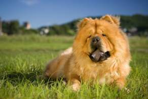 Red Chow Chow Resting Outside