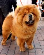 Red Chow Chow