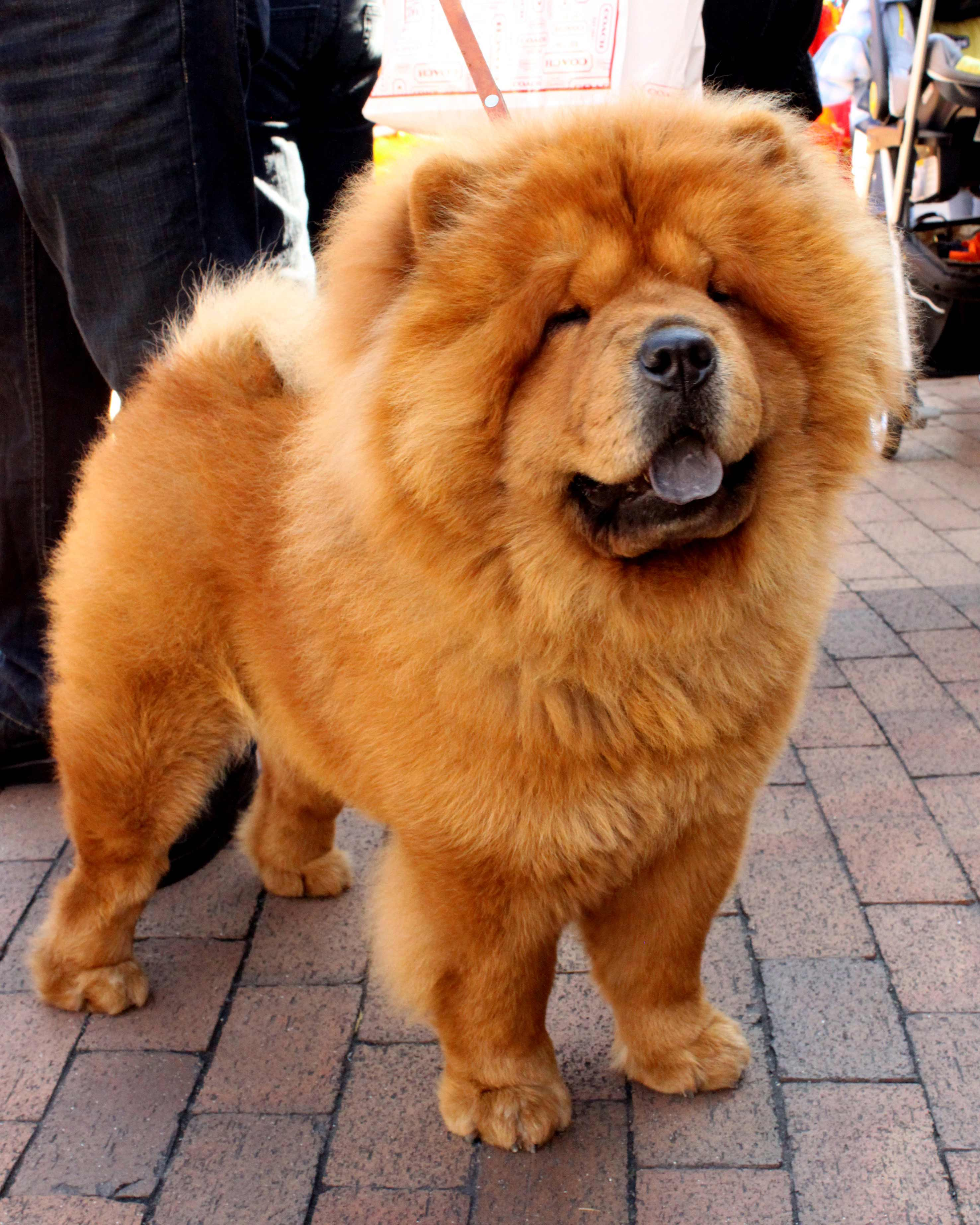 Chow Chow Dog Breed Information Pictures More
