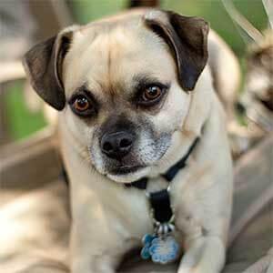 Chug Dog Breed 187 Everything The Chihuahua Pug Mix