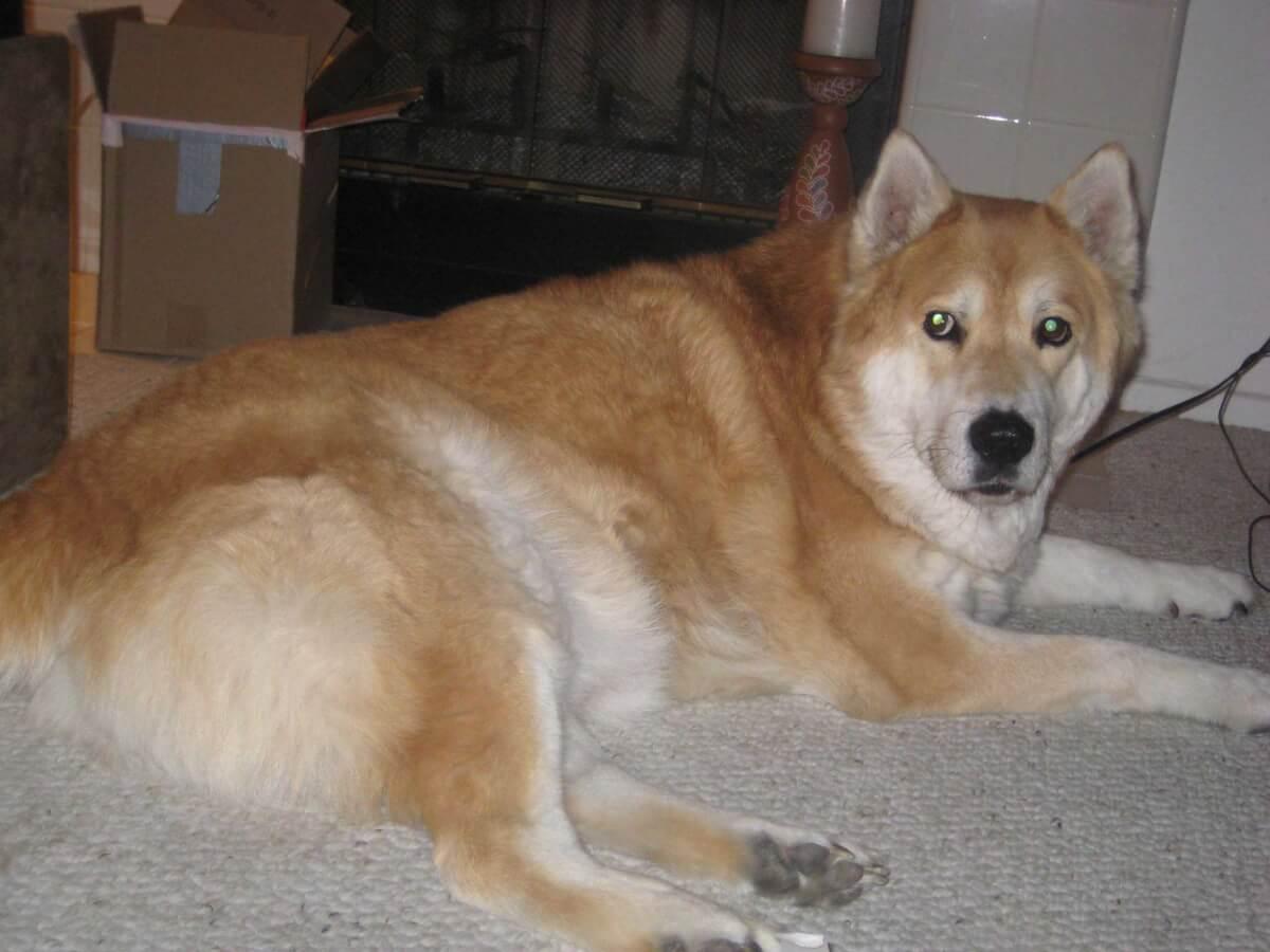 Chusky Dog Breed Everything About Chuskys
