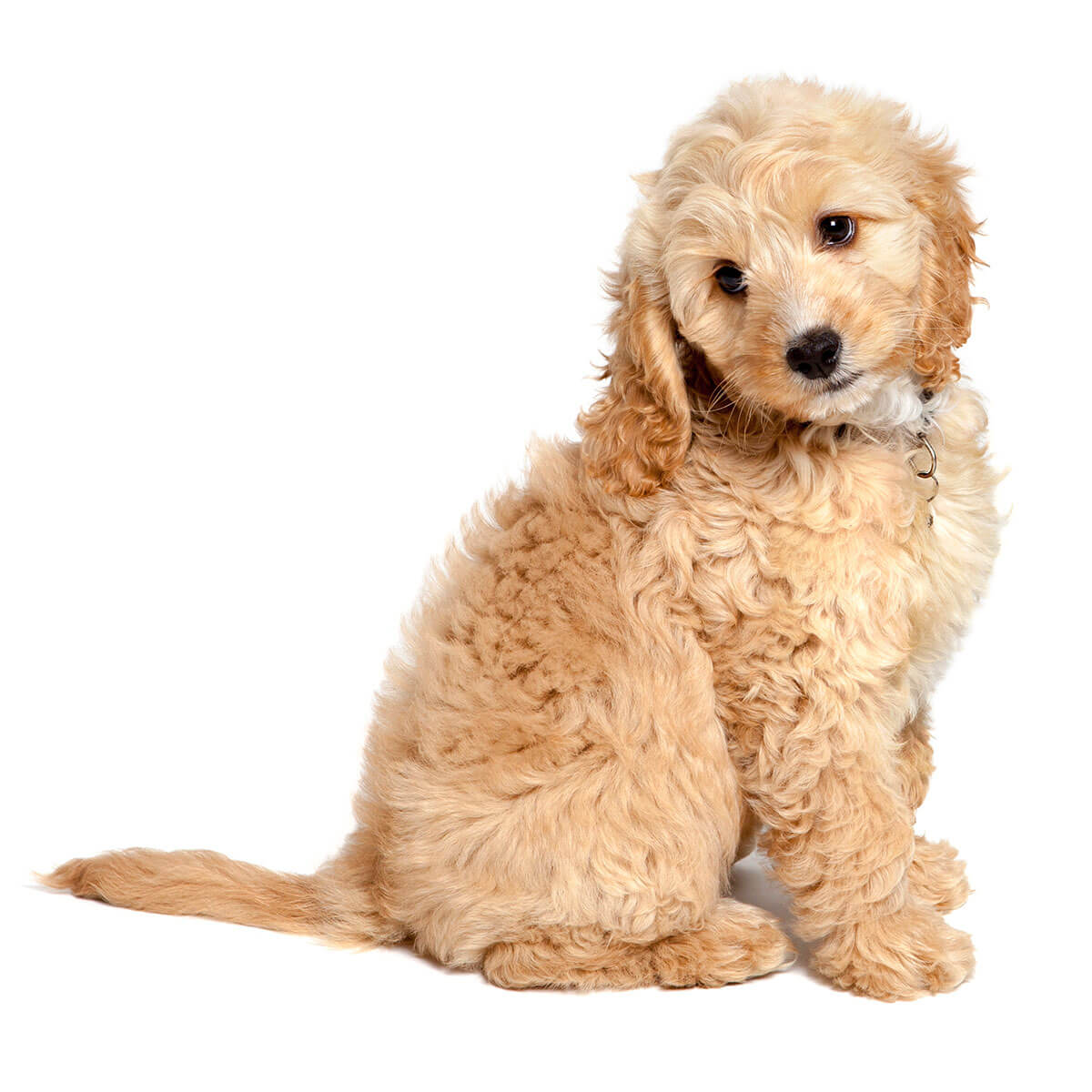 cockapoo dog breed breed info pictures more