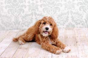 Red Cockapoo Lying Down