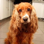 Red Cocker Spaniel