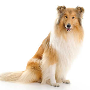 Dog Breed Personalities Similar To Collies