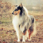 Blue Merle, White, & Tan Rough Collie