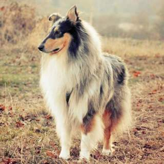 collie dog breed everything about collies