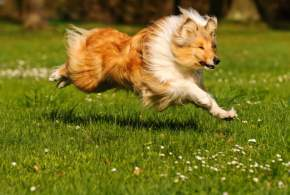 Sable & White Rough Collie Running