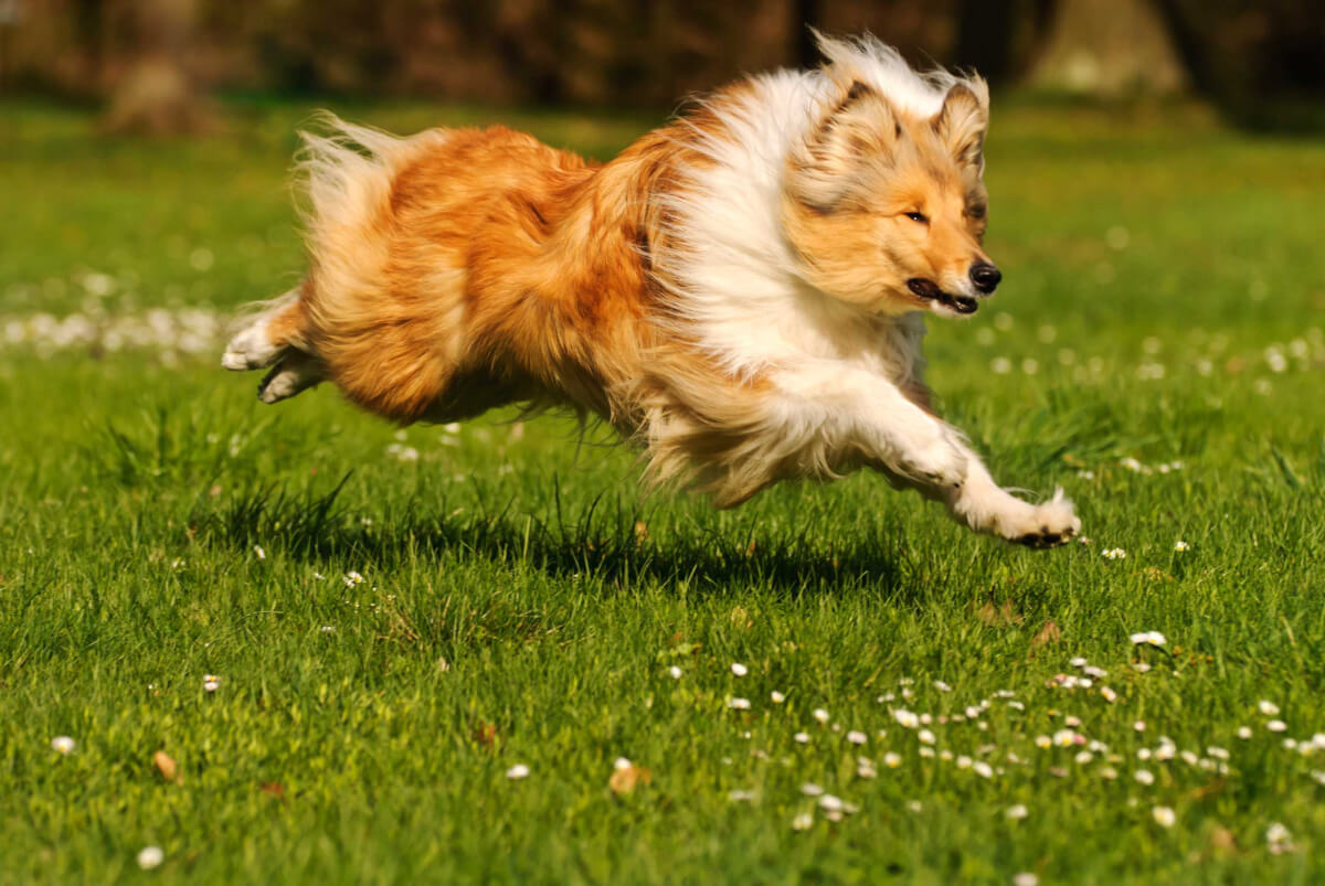 Collie Dog Breed  U00bb Everything About Collies