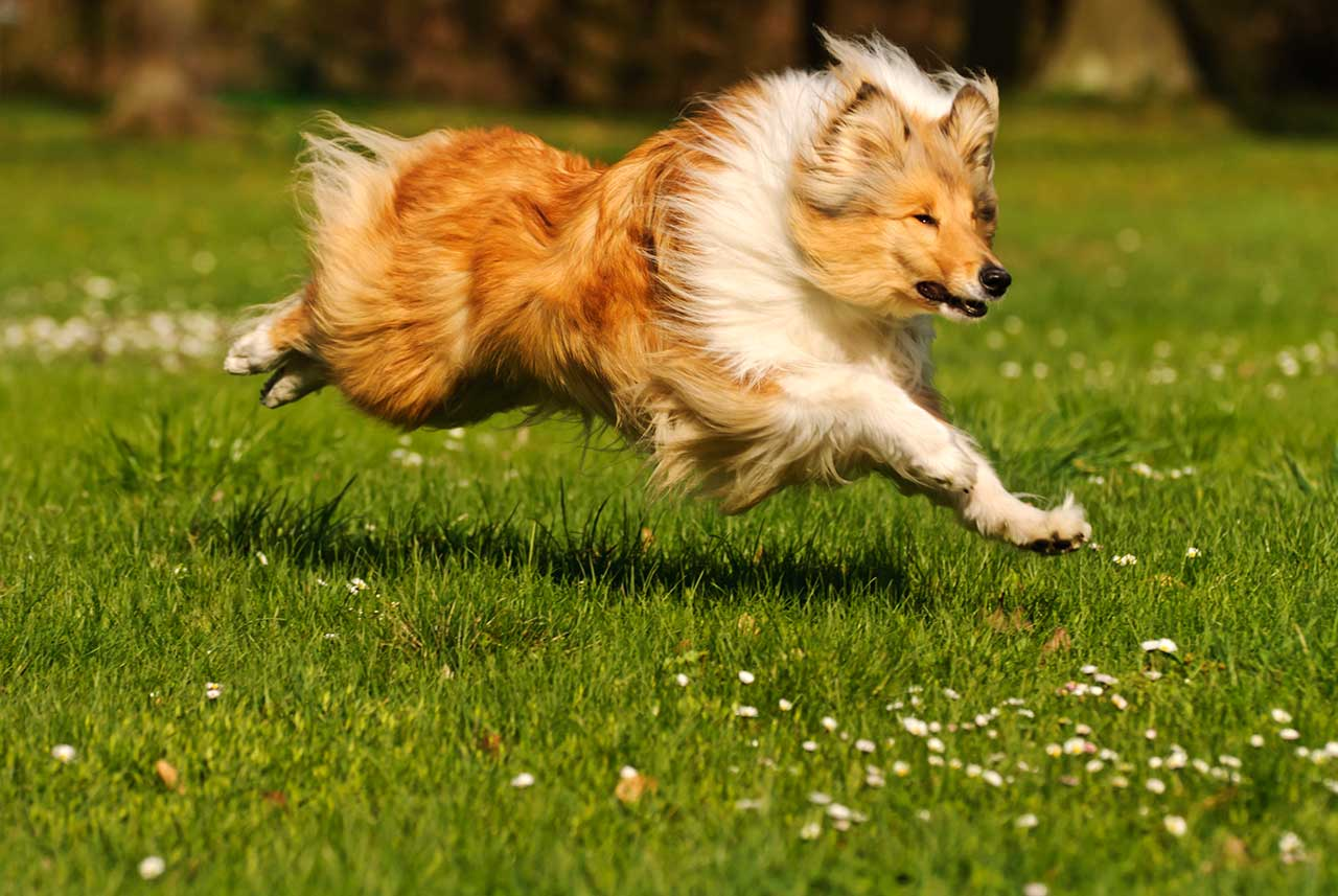 Collie Dog Breed 187 Everything About Collies