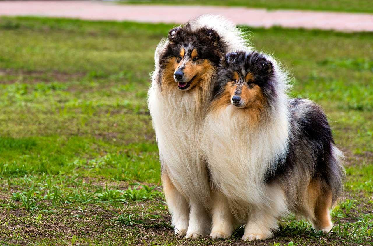 Blue Colored Dog Breeds