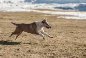 Sable & White Smooth Collie Running