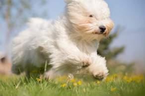White Coton de Tulear Running