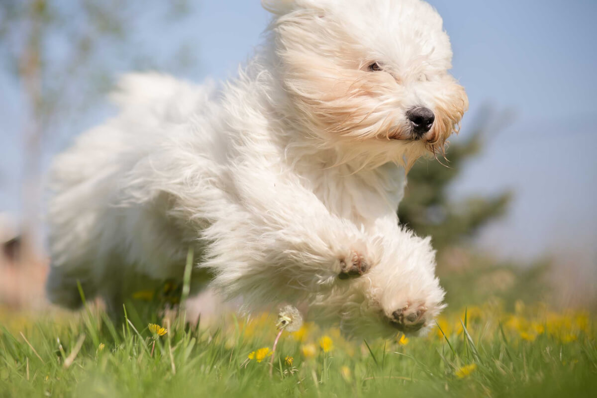 Coton De Tulear Dog Breed 187 Information Pictures Amp More