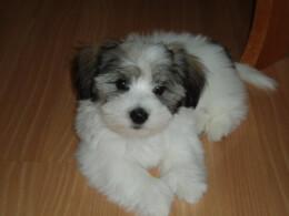 Tri-Color Coton De Tulear Puppy