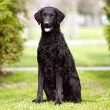 Black Curly-Coated Retriever Sitting Outside