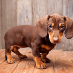 Dachshund Puppy - Chocolate and Tan