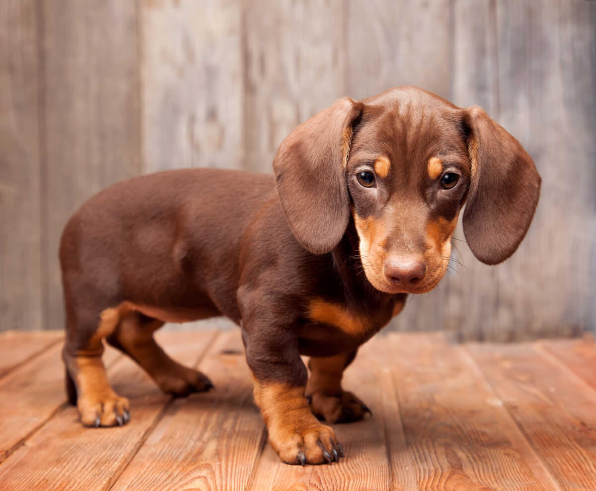 Dachshund Dog Breed Information Pictures More