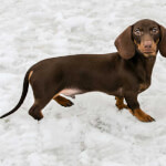 Chocolate Dachshund