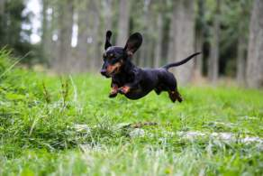 Dachshund Running