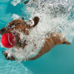 Dachshund Swimming