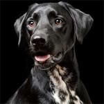 Dalmador - Dalmatian Labrador Mix