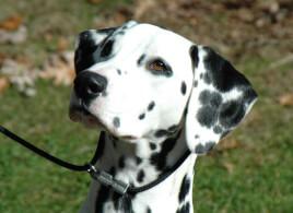 Dalmatian Head