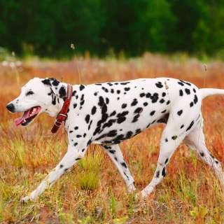 Happy Dalmatian Walking Outside