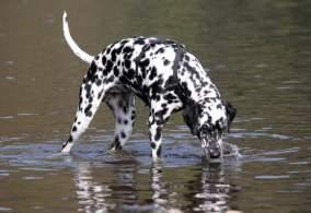 White & Black Dalmatian Drinking Water