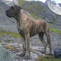 Daniff Dog Breed