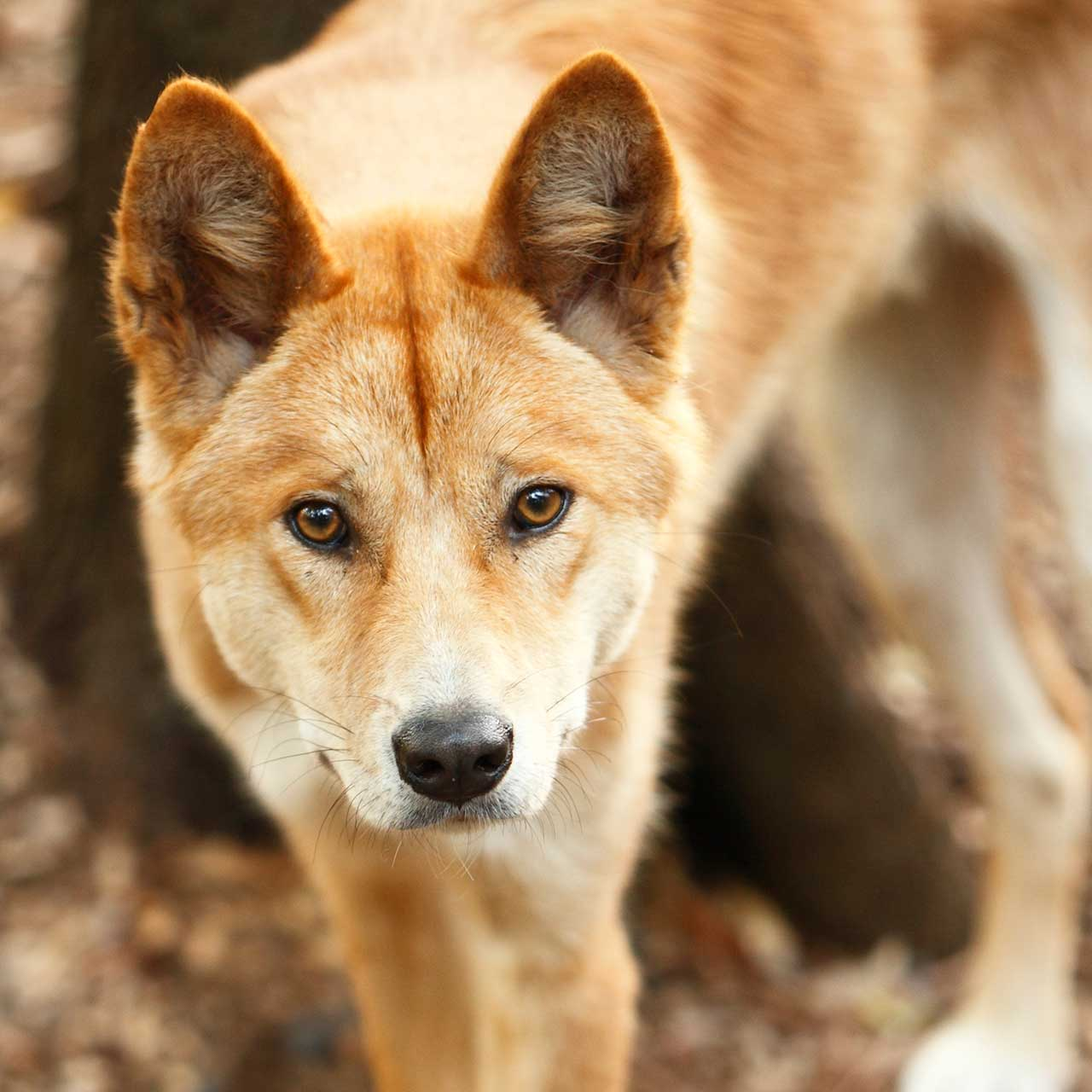 Can A Dingo Mate With A Dog