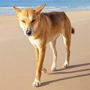 Ding Dog on Beach