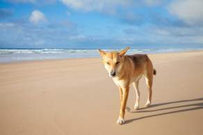 Ding Dog on Beach