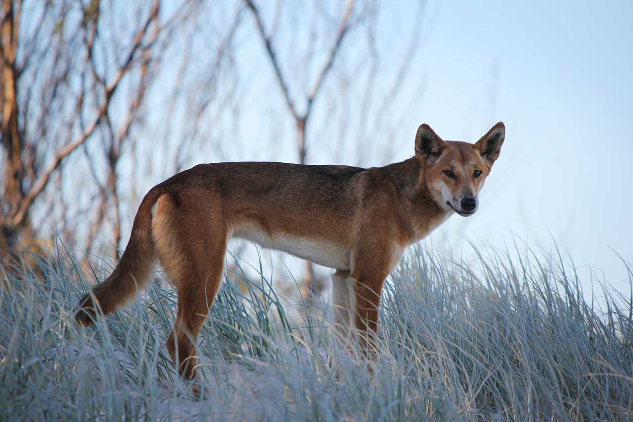 Can A Dingo Breed With A Dog