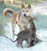 Dingo with Puppies