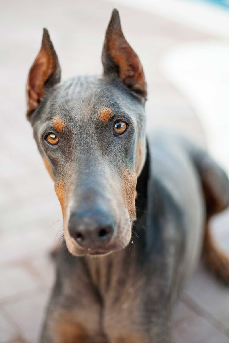 Blue Doberman Dogs Goldenacresdogs