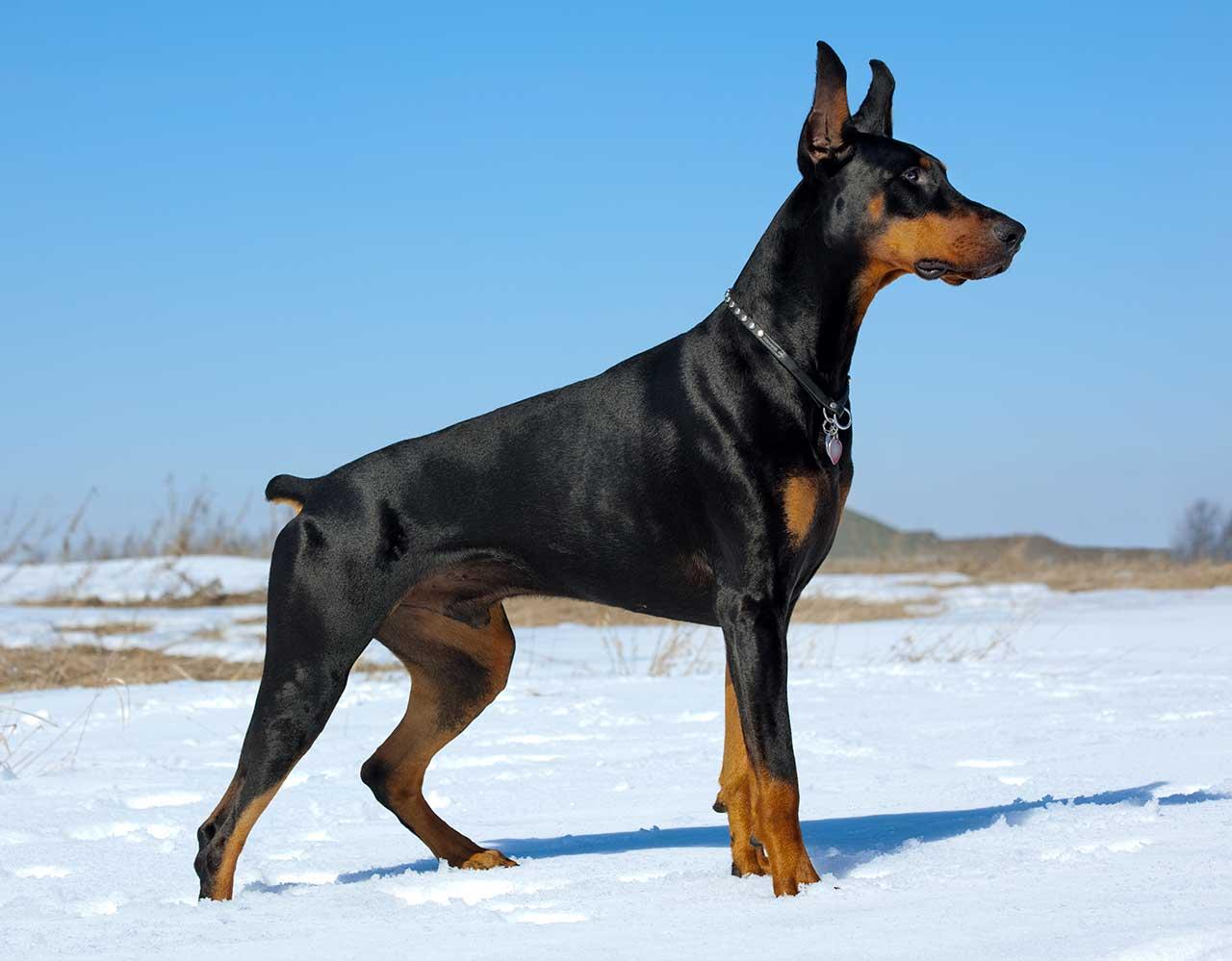 DOBERMAN PINSCHER DOG black