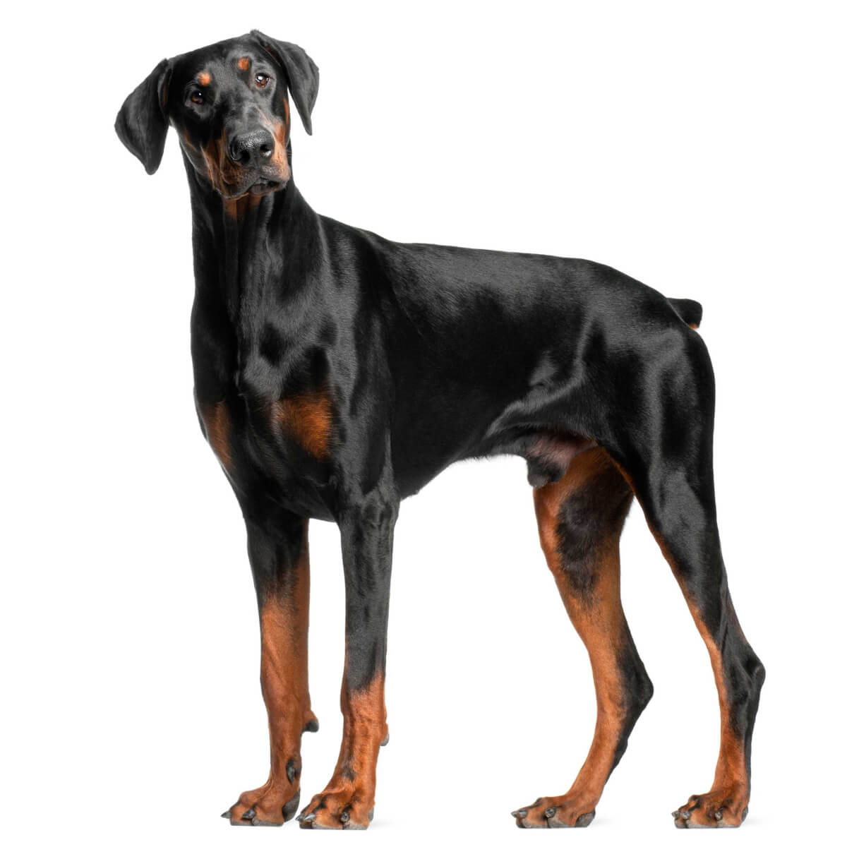 Doberman Pinscher Dog Breed » Everything About Dobermans