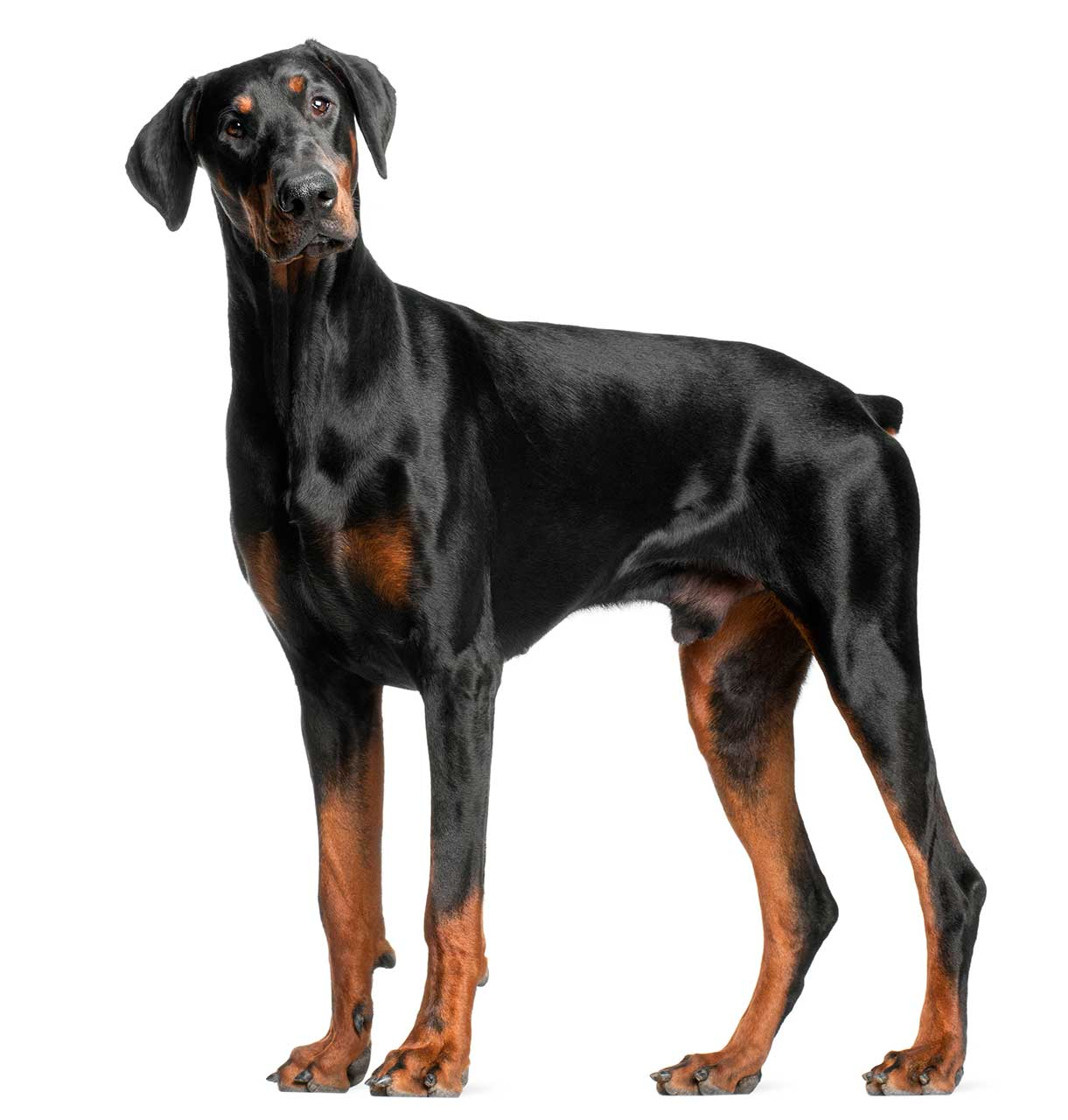 doberman pinscher dog breed everything about dobermans. Black Bedroom Furniture Sets. Home Design Ideas
