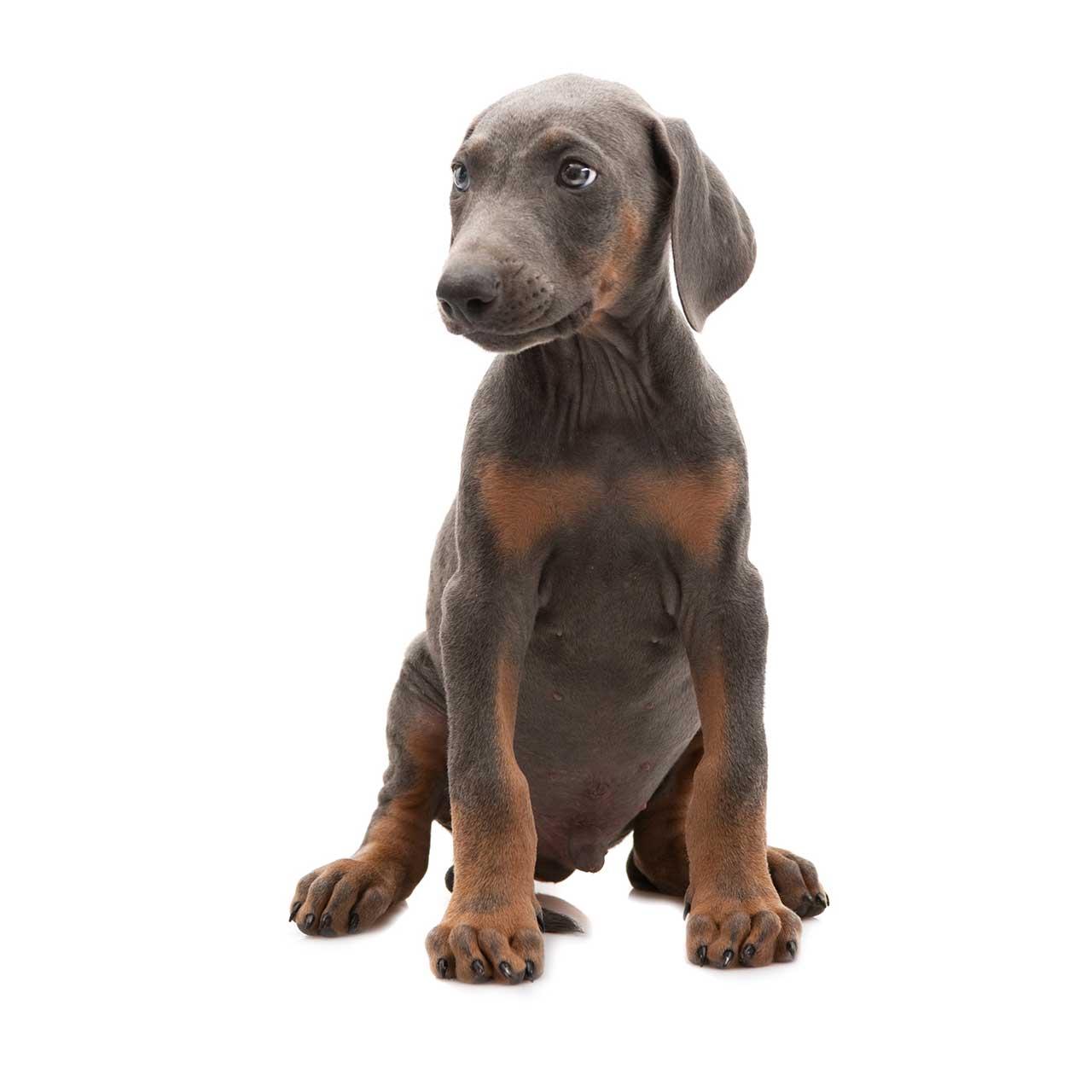 Doberman Pinscher Dog Breed Everything About Dobermans