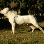 Muscular Dogo Argentino