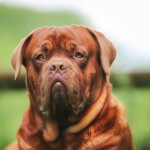 Mahogany Dogue De Bordeaux