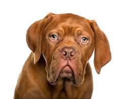 Mahogany Dogue De Bordeaux Puppy