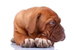 Red Dogue De Bordeaux Puppy