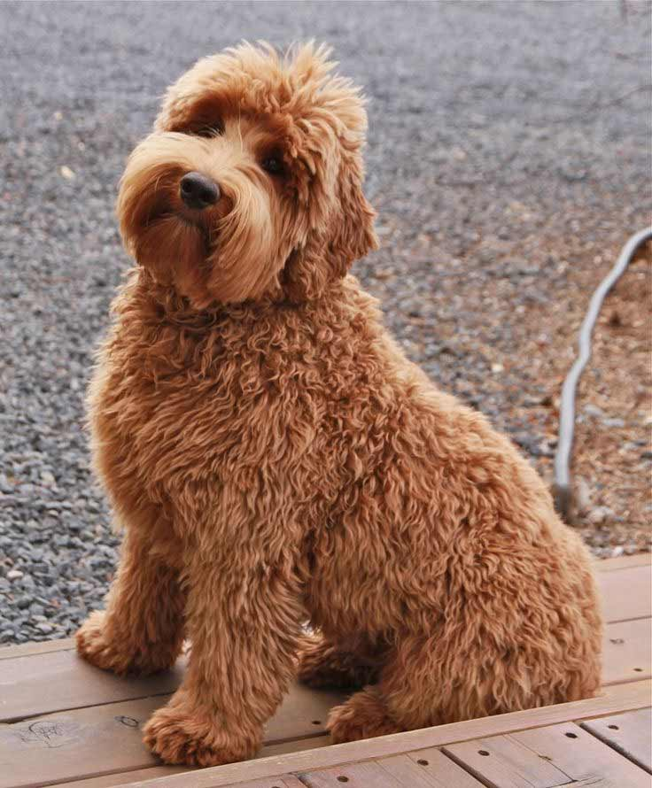 Double Doodle Dog Breed Information Pictures More