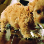 Gold Doxiepoo